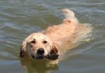 swimming dog, phh insurance
